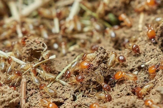 Close up soldier termite on dried leaf